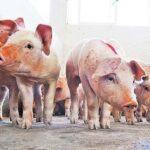 Gobierno dominicano toma medidas para proteger producción de cerdos afectados por fiebre porcina africana