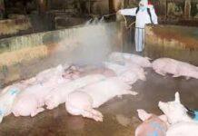 República Dominicana activa Plan de Contingencia para la Erradicación Peste Porcina Africana (PPA)